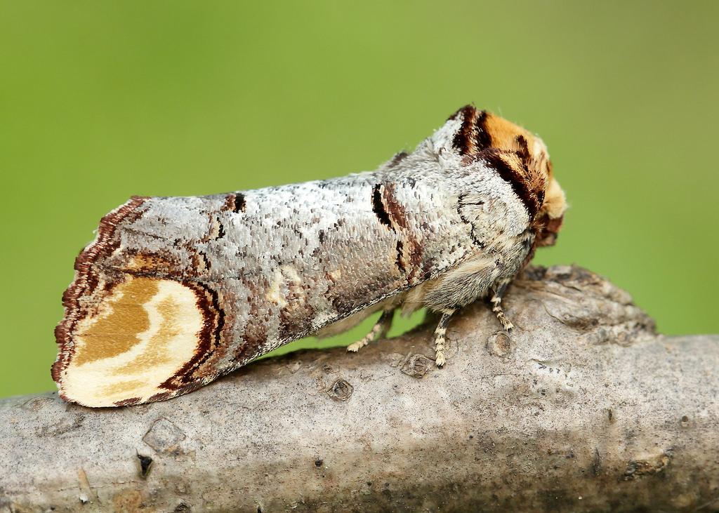 20736287656-buff-tip-phalera-bucephala.j