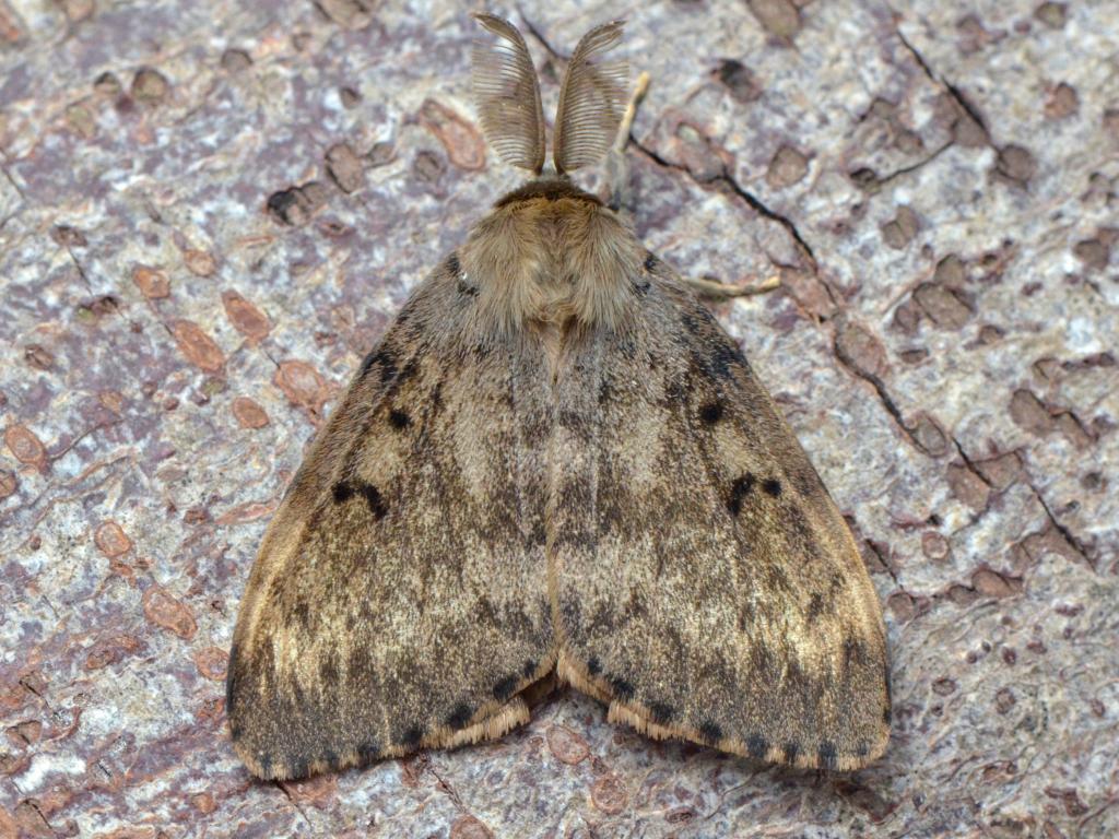 Adult gypsy moth food can