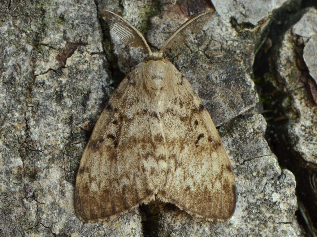 Moth food gypsy Adult
