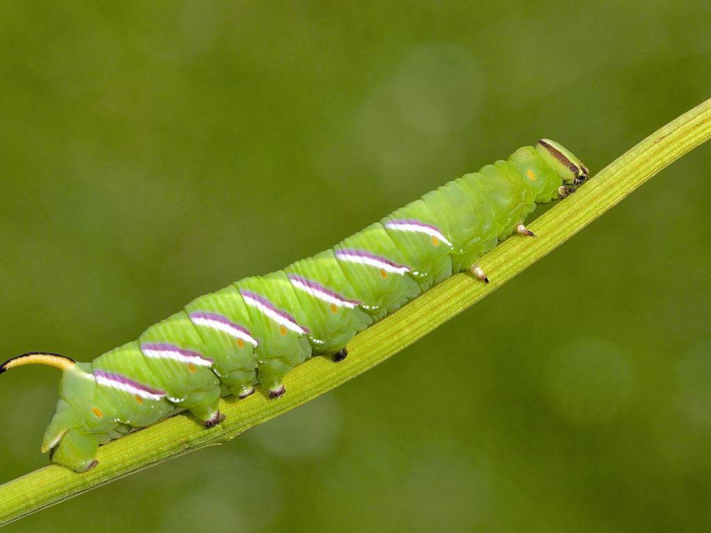 Privet hawk moth - photo#53