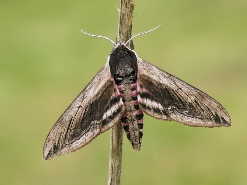 Privet hawk moth - photo#41