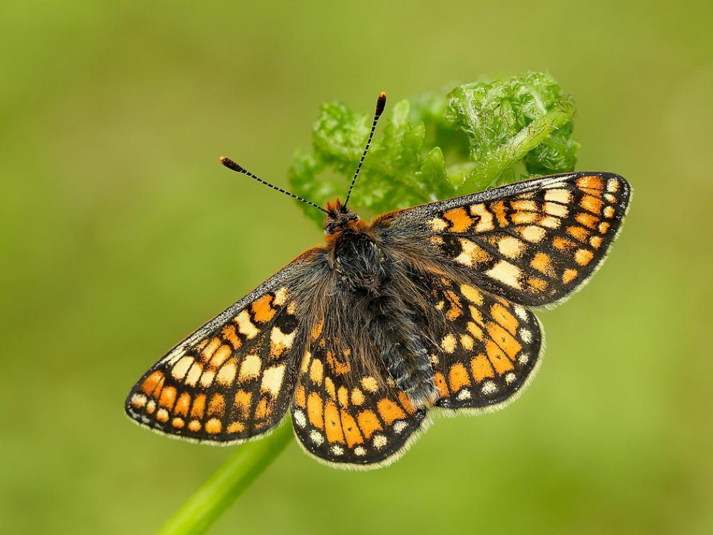 Marsh Fritillary (upperwing) - Iain Leach