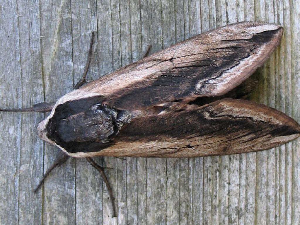 Privet hawk moth - photo#39