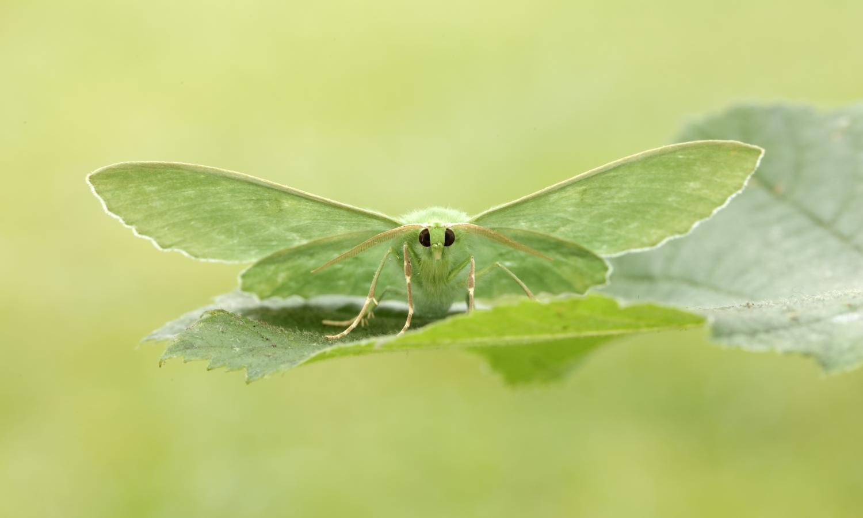 Identify A Moth Butterfly Conservation