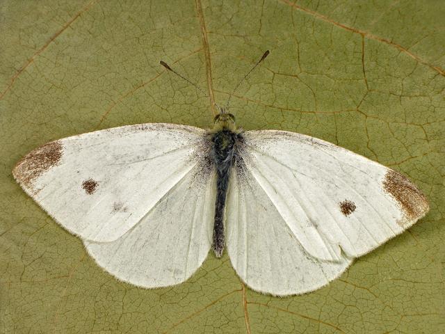 white will în varicoză